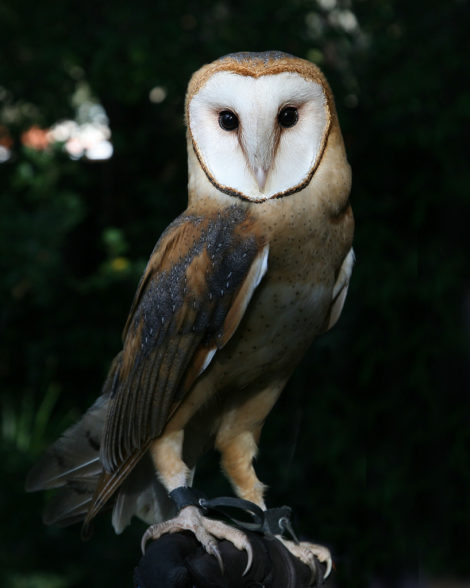 Barn-owl - full size portrait - spirit animal or totem