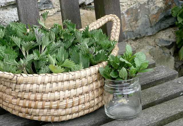 Basket and jar with fresh collected nettle leaves. common nettle, stinging nettle - left for drying.