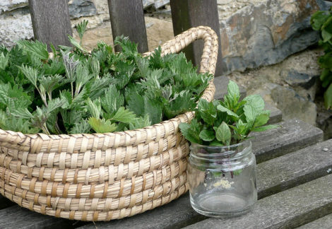 Basket and jar with fresh collected nettle leaves and sprouts. Common nettle, but they are not stinging yet, as the nettle sprouts are young - left for drying.
