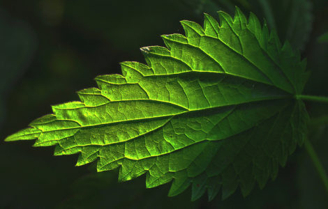 Macro of burning nettle leave. Stings of common nettle leave. Green against black background