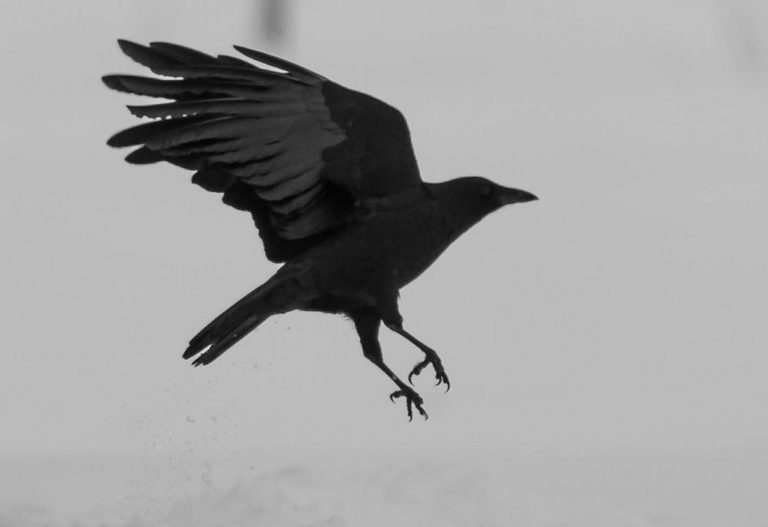 The Crow and Raven as Spirit Animals – The Keeper of Mysteries