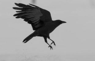 Raven landing on white ground.
