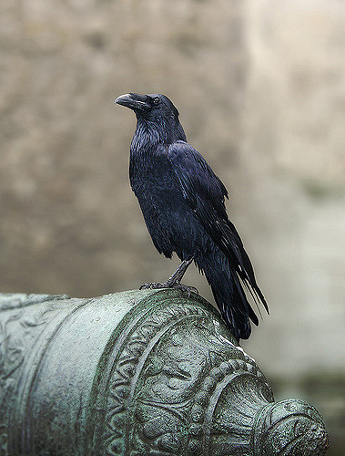 Raven sitting in London on pillar