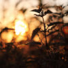 Stinging Nettle or common Nettle against sunset
