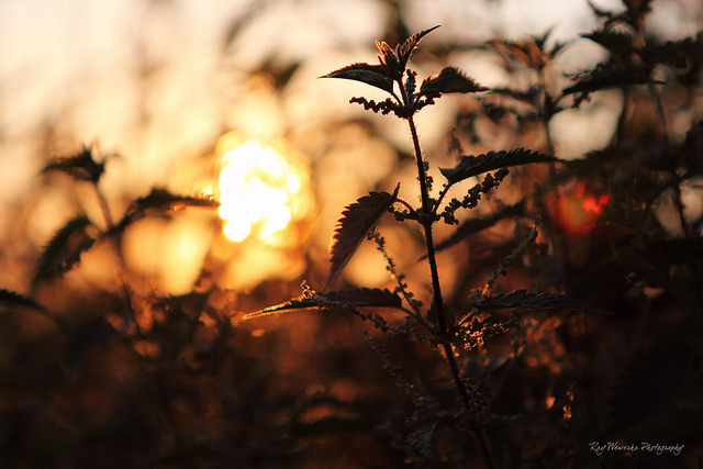 """Urtica dioica  – The Stinging Nettle, """"Weed of Mars"""" Or The Fire In The Garden"""