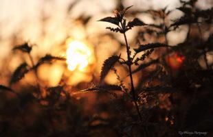Stinging Nettle or common Nettle against sunset
