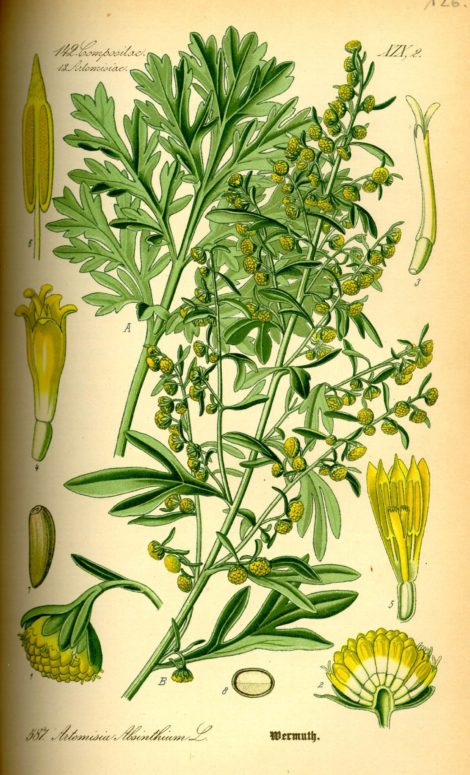 "Artemisia absinthium or Wormwood from ""Flora von Deutschland Österreich und der Schweiz"" by Dr. Otto Wilhelm Thome, 1885. This plant is used by Romanian women to create bristles for magical besoms on Marina's Day. Not only does it make for a protective magical besom, but it is also an important ingredient in the making of Absinthe and it takes its name from queen-commander Artemisia, named so after the goddess of the wildland and the Moon beloved by all witches, Artemis."