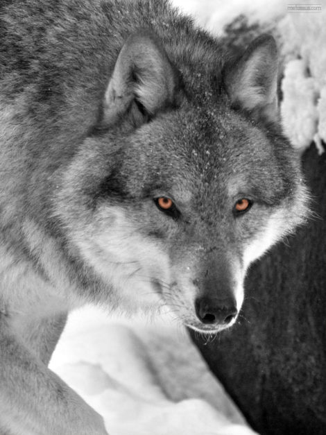 White wolf, close up, orange eyes, in winter landscape