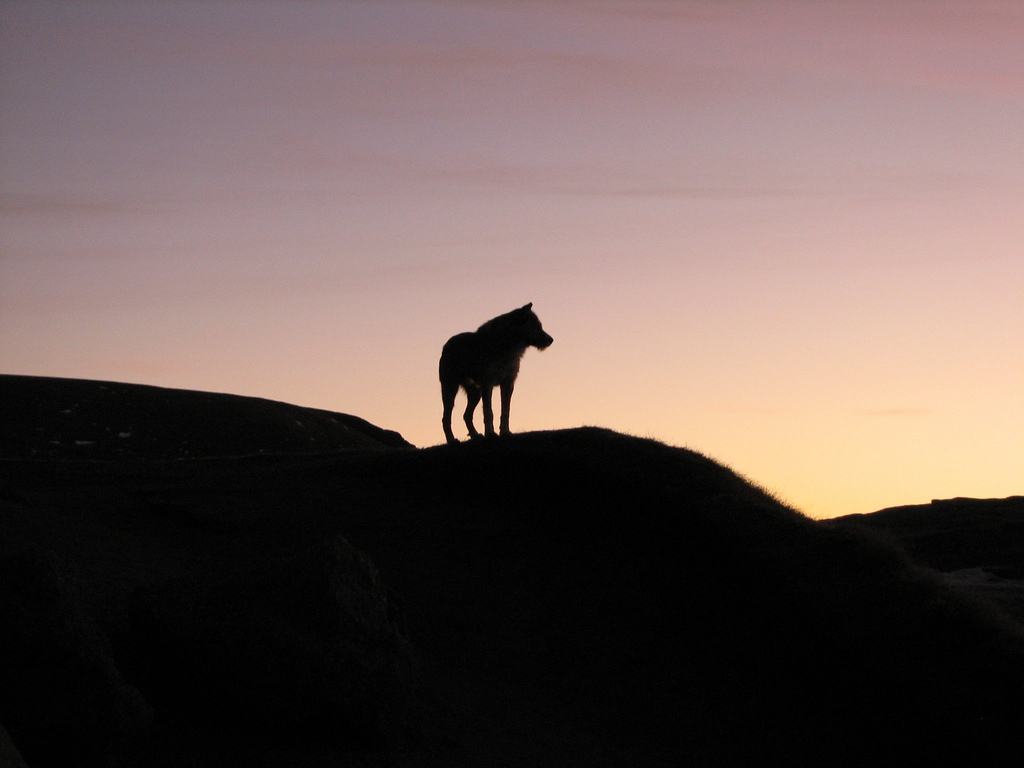 Wolf on mountain hills against the sunset.